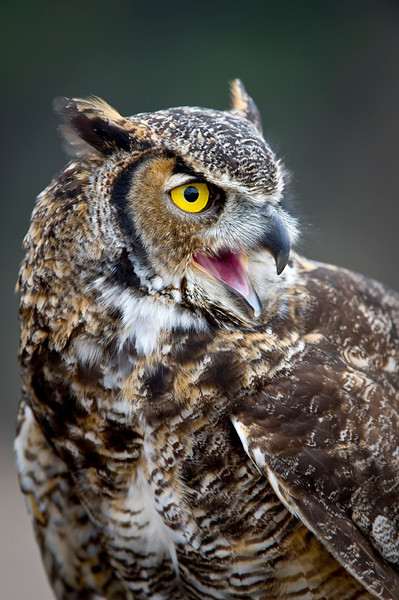 Great Horned portrait #1