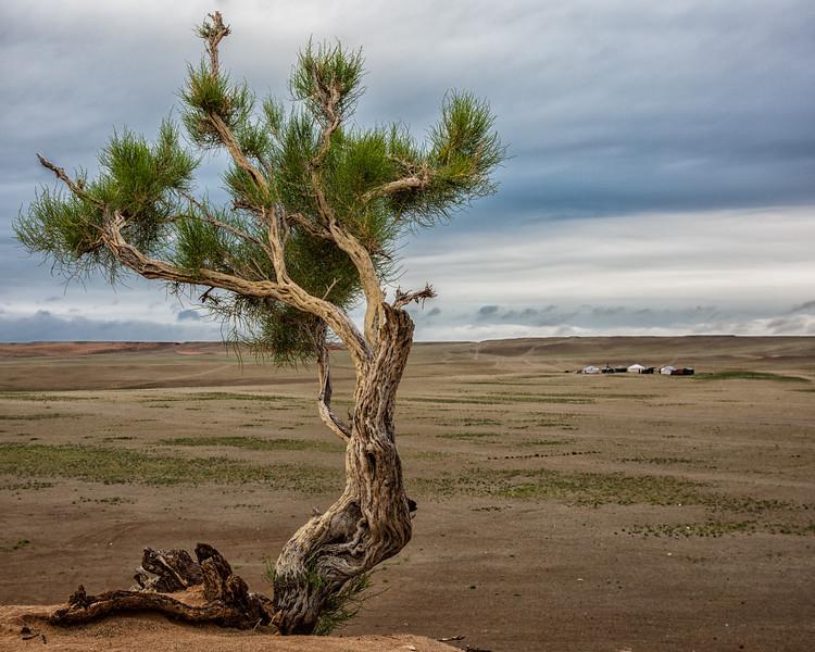 Knotty Tree, Gobi Desert, Mongolia
