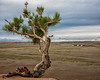 Knotty Tree, Gobi Desert, Mongolia