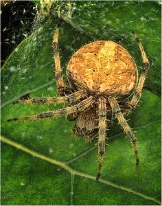 spider 1 f1