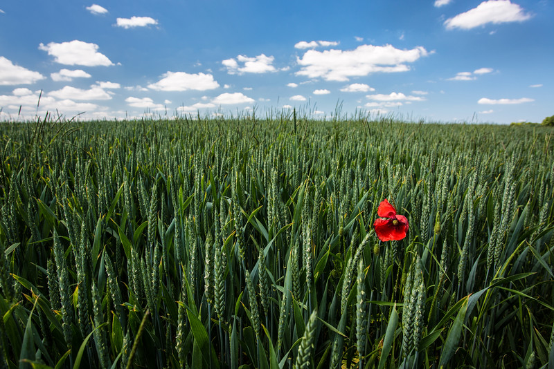 Poppy in Wheat Field, Dordogne, France