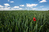 Poppy in Wheat Field, Dordogne, France