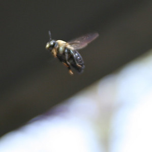 Bee in Flight - 2