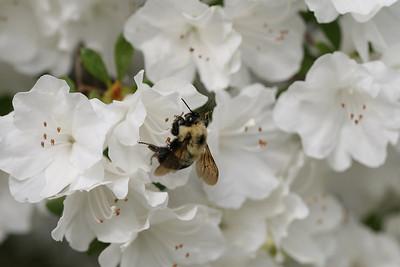 Bumblebee and Azaleas - 2