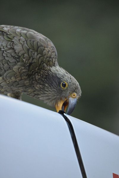 Kea, Sigma 170-500mm hand-held @500mm