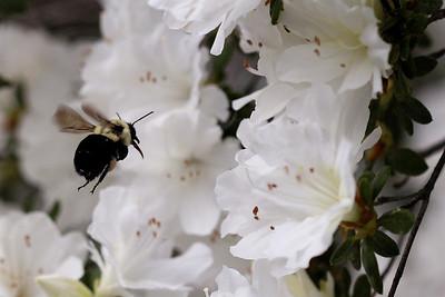 Bumblebee and Azaleas - 11