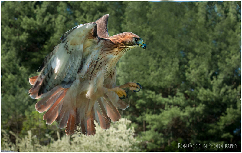 Red tail hunting