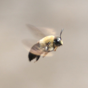 Bee in Flight - 4