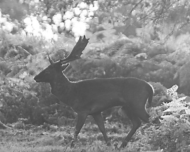 Stag at Ashridge