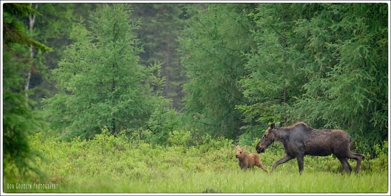 Algonquin Moose #4