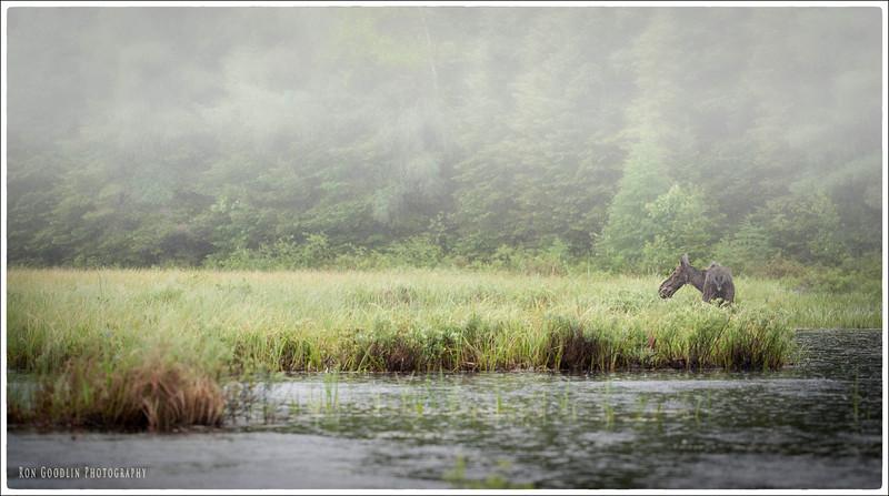 ALgonquin Moose #3