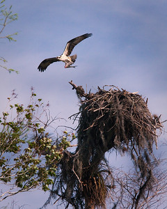 Osprey After Feeding Chicks