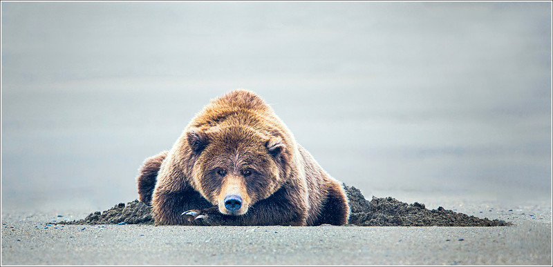 Beached Bear with Bloated Belly