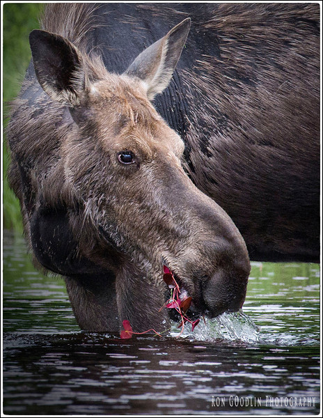 Moose eating lily pads