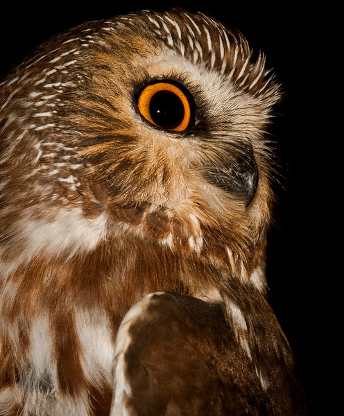 Saw Whet owl portrait