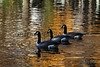 Geese on Lake Elkhorn