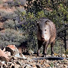 Javelina, or Collared Pecarry. We have a lot here in this part of Arizona. They come by looking for water and will eat just about anything.