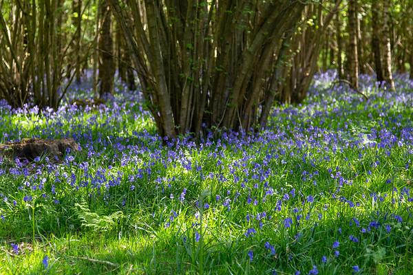Bluebell Season