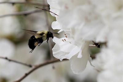 Bumblebee and Azaleas - 15