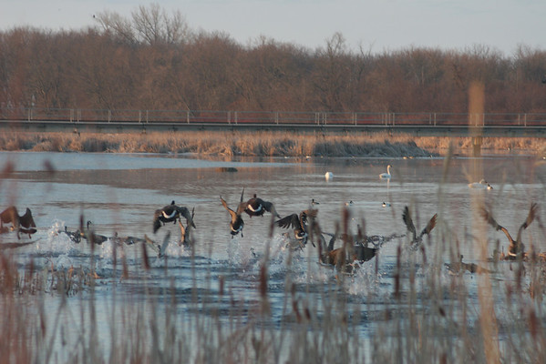 Geese between Cass Lake and Pike Bay in early spring.
