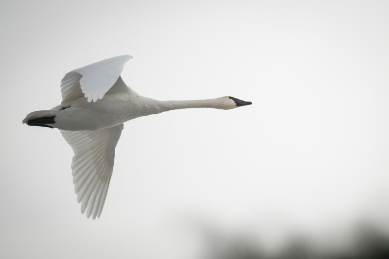 A swan flying along the tree tops over Big Pine Lake