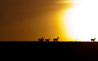 Young deer at sunset