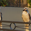 A couple of kookaburra on Harry and Jane's pool fence