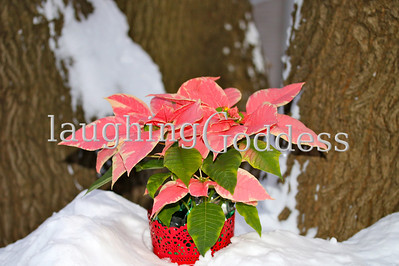 Title: Splash of Red A festive poinsettia nestled in the snow.
