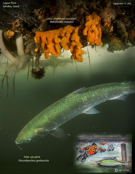 PINK SALMON under the dock. LAGOON POINT, Whidbey Island. September 14, 2013