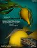 STILETTO SHRIMP  ( Heptacarpus stylus ). Keystone Jetty, Whidbey Island. October 24, 2014