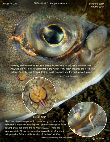 ENGLISH SOLE  ( Parophrys vetulus ) with parasites. Keystone Jetty,  Whidbey Island. August 19, 2014
