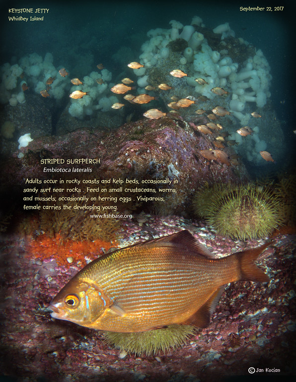 Whidbey Island Critters - Page 22 - Northwest Dive Club