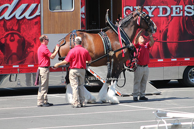 Budweiser Clydesdale Horses getting setup before parade.