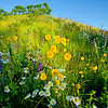 Wildflowers: Dover, NH. Order limited addition print of 100