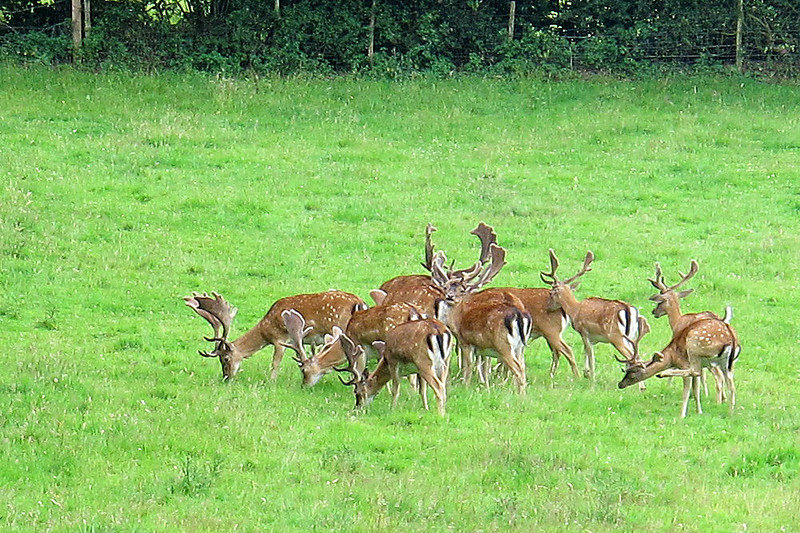 A group of wild deer in a paddock (no deer fences) which also contained heifers and bullocks.
