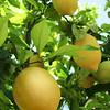 Lemon 'Meyer'