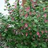 Ribes sanguineum 'Claremont'/Winter Currant