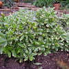 Pittosporum tobira 'Cream de Mint""
