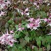 Epimedium grandiflorum/Bishop's Hat