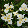 Iris douglasiana 'Canyon Snow'/Douglas Iris