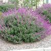 Salvia leucantha 'Santa Barbara'/Mexican Sage