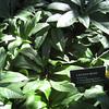 Helleborus orientalis/Lenten Rose (foliage)