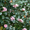 Camellia 'Jean May'