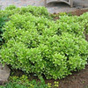 Pittosporum tobira 'Wheelers Dwarf'