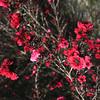 Leptospermum 'Ruby Glow'