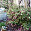 Fuschia thymifolia