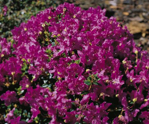 Rhododendron species <i>keleticum</i>