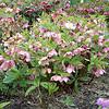 Helleborus orientalis/Lenten Rose (flower)
