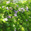Clytostoma/Purple Trumpet Vine