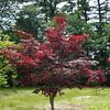Acer palmatum 'Bloodgood'/Japanese Maple